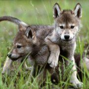 centro uomini e lupi