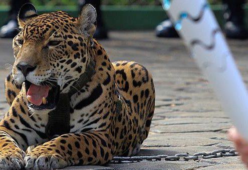 Il giaguaro Juma