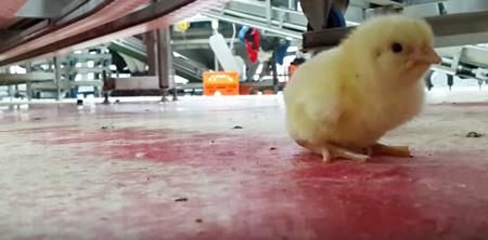USA stop sterminio dei pulcini