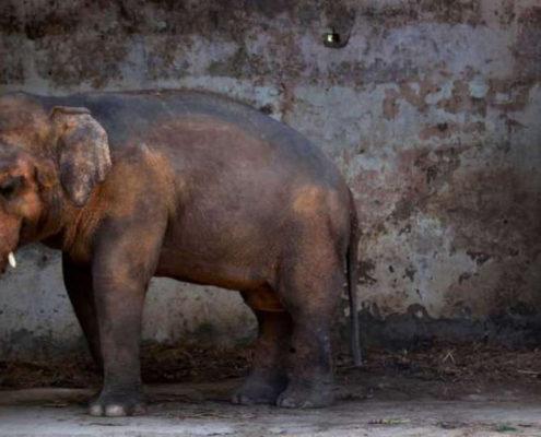 kaavan l'elefante pakistano