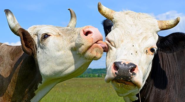mucche in via di estinzione