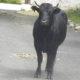 Salviamo i tori di Pantelleria