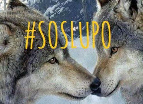 Abbattimento dei lupi SOS lupo